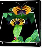 Gentle Butterfly Courtship 01 Out Of Bounds Acrylic Print