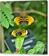 Gentle Butterfly Courtship 01 Acrylic Print