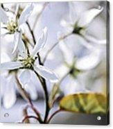 Gentle White Spring Flowers Acrylic Print