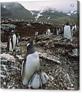 Gentoo Penguin And Chicks South Georgia Acrylic Print