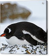 Gentoo Penguin On Nest Acrylic Print