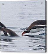 Gentoo Penguins Porpoising Paradise Bay Acrylic Print