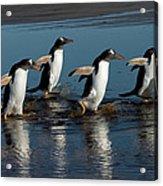 Gentoo Penguins Walking Acrylic Print by Hiroya Minakuchi