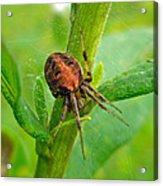 Genus Araneus Orb Weaver Spider - Brown And Orange Acrylic Print