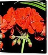 Geranium Acrylic Print