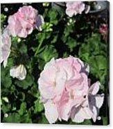 Geranium In Pink Acrylic Print