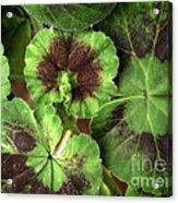 Geranium Leaves Acrylic Print