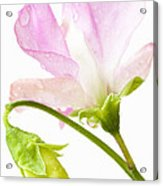 Geranium Pink Acrylic Print
