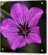 Geranium Sanguinium Acrylic Print