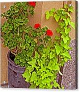 Geraniums And Ivy Acrylic Print