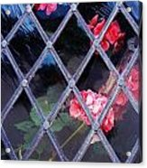Geraniums Under Glass In Wales Acrylic Print