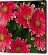 Gerber Daisies Cluster Acrylic Print