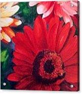Gerber Daisies In Bloom Acrylic Print