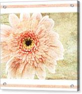 Gerber Daisy 1 Acrylic Print