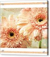 Gerber Daisy 2 Acrylic Print