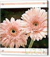 Gerber Daisy Dream 5 Acrylic Print