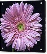 Gerber Daisy Flower Acrylic Print