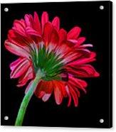 Gerber Daisy Acrylic Print by Hazel Billingsley