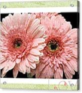 Gerber Daisy Love 4 Acrylic Print