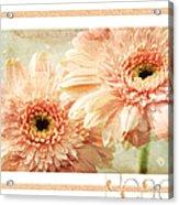 Gerber Daisy Peace 2 Acrylic Print