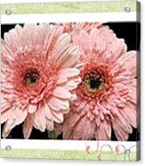 Gerber Daisy Peace 4 Acrylic Print