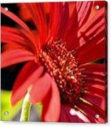 Gerber Daisy Shadows Acrylic Print