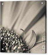 Gerbera Blossom - Bw Acrylic Print