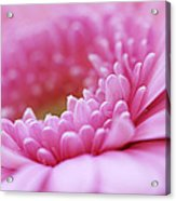 Gerbera Daisy Flower - Pink Acrylic Print by Natalie Kinnear