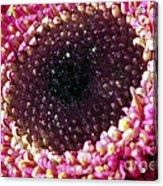 Gerbera Daisy Macro Acrylic Print