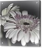Gerbera Dream 1 Acrylic Print