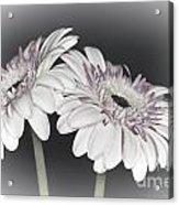Gerbera Dream 2 Acrylic Print