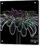 Gerbera Glow 4 Acrylic Print