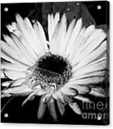 Gerbera In Black And White Acrylic Print