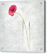 Gerbera In Glass Vase  Acrylic Print