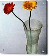 Gerbera Jamesonii Acrylic Print