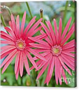 Gerbera Jamesonii / Pink Daisy Flowers Acrylic Print