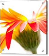 Gerbera Mix Crazy Flower - Orange Yellow Acrylic Print