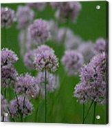 German Garlic Acrylic Print
