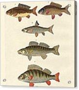 German Sea Fish Acrylic Print