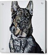 German Shepherd Bodhi Acrylic Print