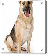 German Shepherd Dog Isolated On White Acrylic Print by Susan Schmitz