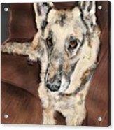 German Shepherd On Couch Acrylic Print