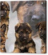 German Shepherd Puppy Collage Acrylic Print