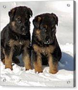 German Shepherd Pups Acrylic Print by Aimee L Maher Photography and Art Visit ALMGallerydotcom