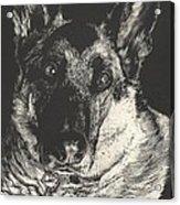 German Shepherd Acrylic Print