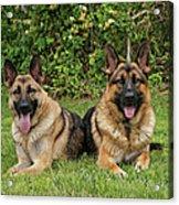 German Shepherds - Mother And Son Acrylic Print