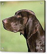 German Short-haired Pointer Dog Acrylic Print