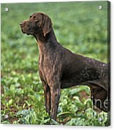 German Short-haired Pointer Acrylic Print