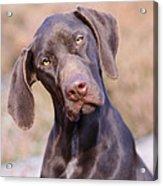 German Short-haired Pointer Puppy Acrylic Print