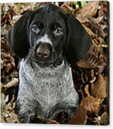 German Wire-haired Pointer Puppy Acrylic Print